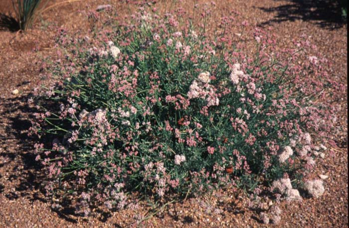 Plant photo of: Eriogonum fasciculatum v. poliofolium