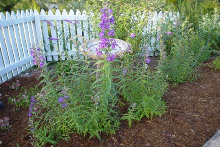 Plant photo of: Penstemon hybrids (assorted)