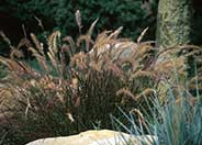 Dwarf Red Fountain Grass
