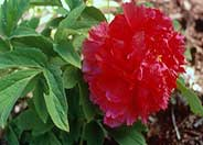 Paeonia 'Fire to Make Immortality'
