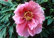 Paeonia  'Flying Swallow in Red Dress