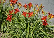 Daylily (hybrid selection)