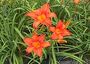 Hemerocallis 'Melody Doll'