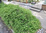 Baccharis pilularis 'Pigeon Point'