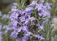 Tuscan Blue Upright Rosemary