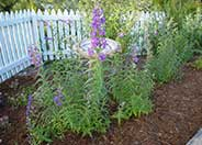 Border or Garden Penstemon